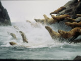 Steller Sea Lions Take to the Waters of the Gulf of Alaska Amid Foam and Spray