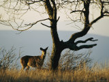 A White-Tailed Deer Standing Near a Bare Tree