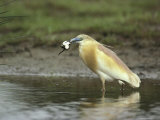 A Squacco Heron Catches a Frog