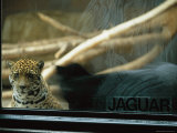 A Jaguar Peers Through a Window in its Enclosure