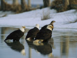 A Group of American Bald Eagles Stand in Alaskas Icy Waters