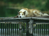 A Pet Dog Resting on a Pier