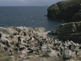 Coastal Rookery of Blue Eyed Cormorants and Black Browed Albatrosses