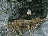 An American Bald Eagle Perches in its Nest