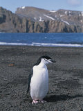 A Chinstrap Penguin on the Beach at Deception Island