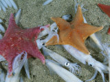 Bat Starfish Make Meals Out of Opalescent Inshore Squid
