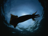 Giant Or Humboldt Squid in Silhouette from Below
