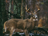 A Portrait of a 12-Point White-Tailed Deer Buck
