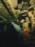 A Scrawled Filefish Exploring the Encrusted Remains of a Shipwreck