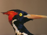Close View of an Ivory-Billed Woodpecker (Campephilus Principalis)