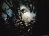 A Baby Snowy Egret Peers from its Nest