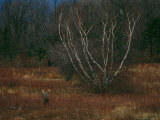 A White-Tailed Deer Buck Standing Near a Birch Tree in a Meadow