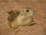 Close View of a Prairie Dog Emerging from its Den