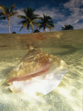 A Conch Shell Rests Beneath the Clear Waters of the Gulf of Mexico