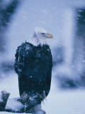 Wind Ruffles the Feathers of an American Bald Eagle