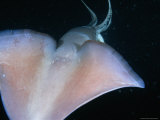 Dorsal View of a Giant Or Humboldt Squid at Night
