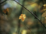 Pine Needles Caught on an Autumn-Colored Maple Leaf
