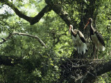 A Pair of Black Storks Nest in a Tree  Ciconia Nigra