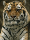 A Portrait of Khuntami  a Male Siberian Tiger  Looking Regal