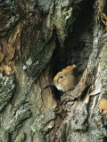 A Hoopoe Peers from a Hole in a Tree