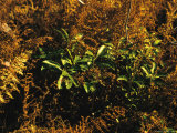 Ferns in Autumn Brown Color with Green Mountain Laurel Leaves