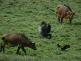 A Western Lowland Gorilla  Two Forest Buffalos and a Hammerkop Congregating in the Bai