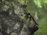 A Hoopoe Perches on a Tree