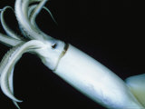 Giant Or Humboldt Squid Viewed at Night Underwater