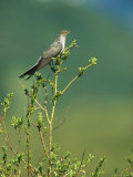 An Oriental Cuckoo Sitting in a Treetop