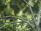 A Female Golden Oriole Perches on a Tree Branch