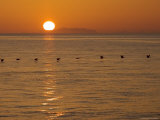 A Row of Brown Pelicans Glide over the Sea of Cortez at Sunrise