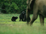 A Group of Lowland Gorillas Warily Watch a Passing Forest Elephant