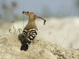A Hoopoe Carries an Insect in its Mouth