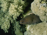 A Moray Eel Pokes its Head out from the Coral Reefs in the Red Sea