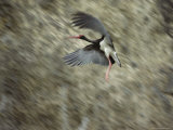 A Black Stork in Flight