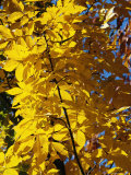 Hickory Tree in Golden Fall Color