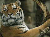 A Portrait of Khuntami  a Male Siberian Tiger
