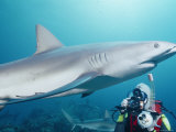 A Scuba Diver Takes a Photo of a Caribbean Reef Shark