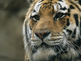 A Close View of the Face of Khuntami  a Male Siberian Tiger