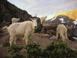 Mountain Goat and Kids Climb Rocks in Glacier National Park