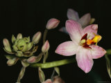 Orchid in Bloom with Ants Crawling over a Closed Blossom