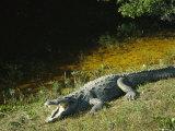American Alligator on Floridas Gulf Coast