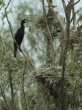 Cormorant Perched in a Tree near a Trio of Bird Nests