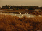 Great Egrets  Great Blue Herons and Pelicans Feeding in a Pond