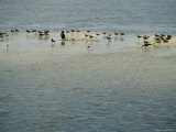 Laughing Gulls and Cormorants Wade in Floridas Waters