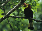 Rare Male Waldens Hornbill Perched on a Tree Limb