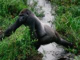 Silverback Western Gorilla Crossing a Stream