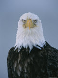 Close View of an American Bald Eagle