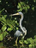 Tricolored Heron on Floridas Gulf Coast