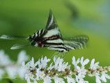 Zebra Swallowtail Butterfly Sips Nectar from a Flower